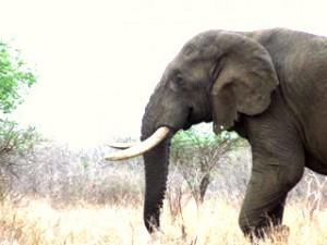 afrikai elefant